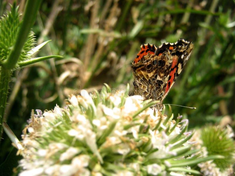 Fjäril över blomman arkivbilder