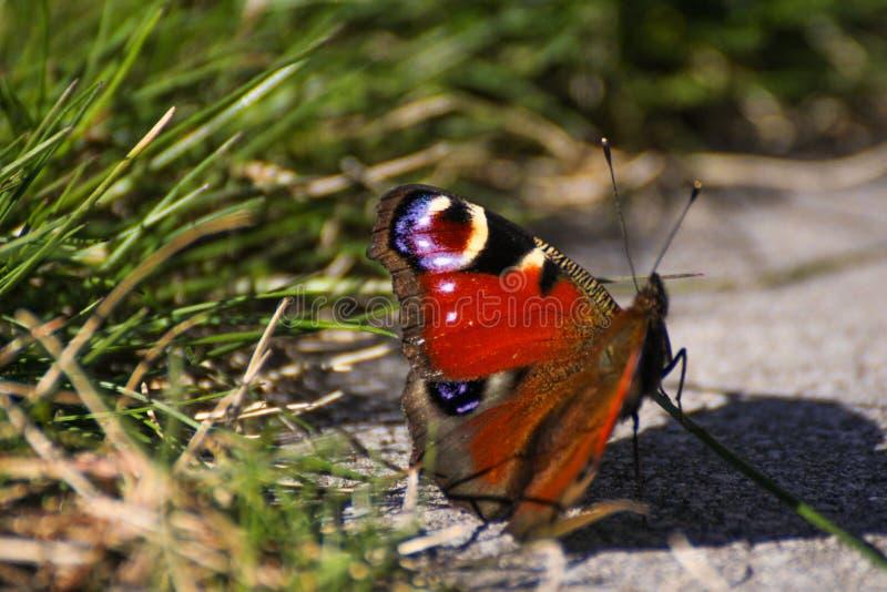 Fjäril fotografering för bildbyråer