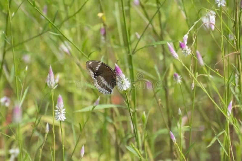 Fjäril av Ägg-fluga art på lösa blommor royaltyfri foto