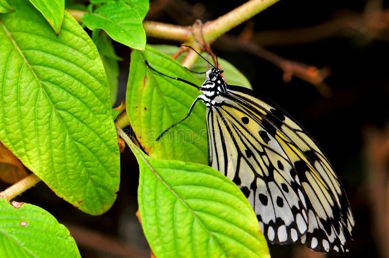 Fjäril Ceylon Träd-nymf (idéiasoniaen) royaltyfri bild