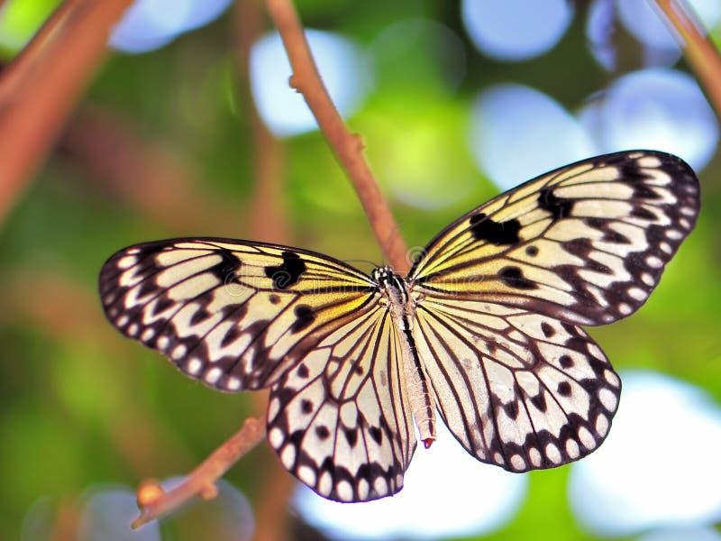Fjäril Ceylon Träd-nymf (idéiasoniaen) royaltyfria bilder