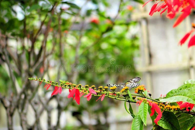 Fjäril Ceylon trädnymf royaltyfri fotografi