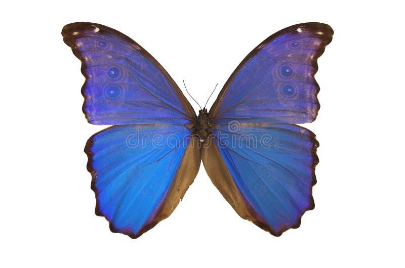 fjäril för 5 blue arkivfoto