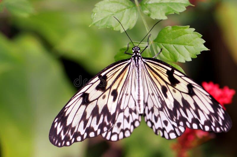 Fjäril för Ceylon trädnymf (idéiasoniaen) royaltyfria foton