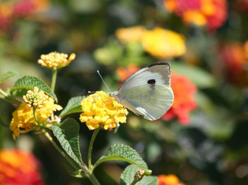 Fjäril för kålvit på den gula Lantanablomman arkivbild