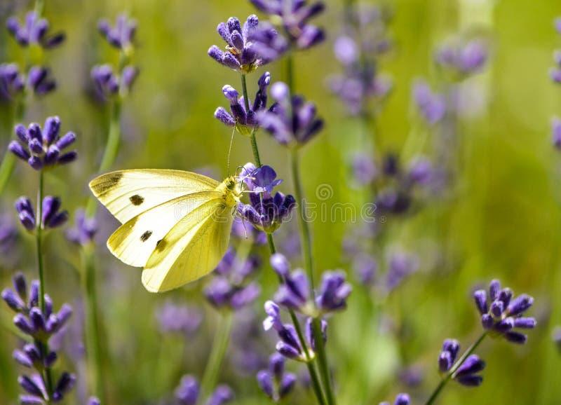 Fjäril för kålvit på lavendelblomman arkivbild