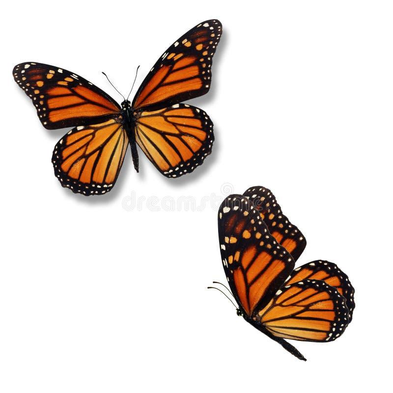 Fjäril för monark två fotografering för bildbyråer