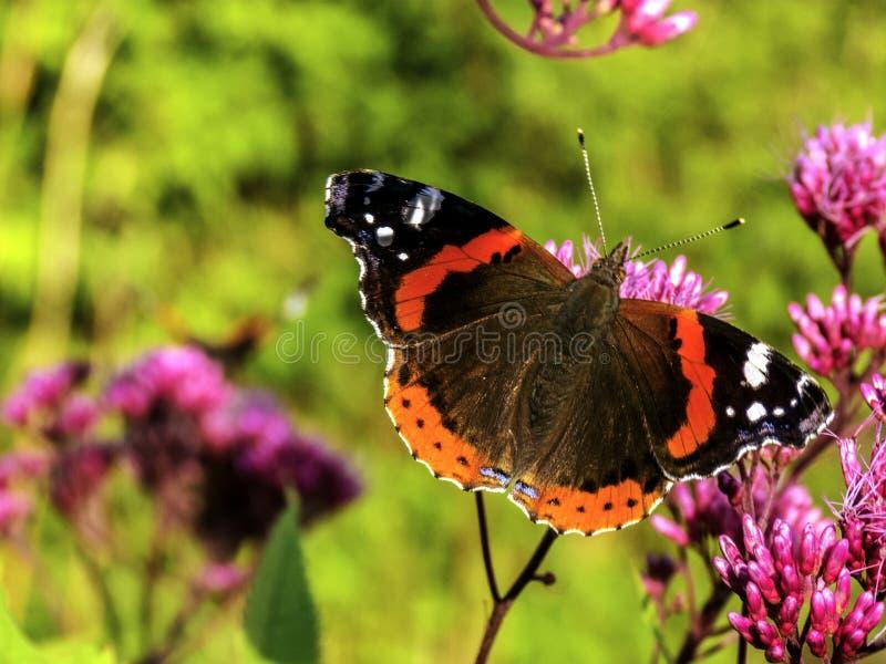 Fjäril för röd amiral på en blomma arkivbild
