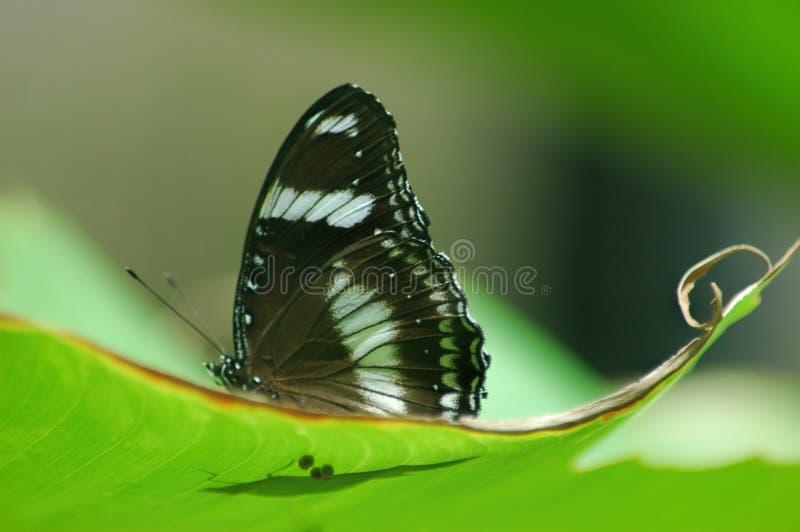 Fjäril för vit amiral också som är bekant som limenitisen camilla som vilar på ett blad på en sommarmorgon fotografering för bildbyråer