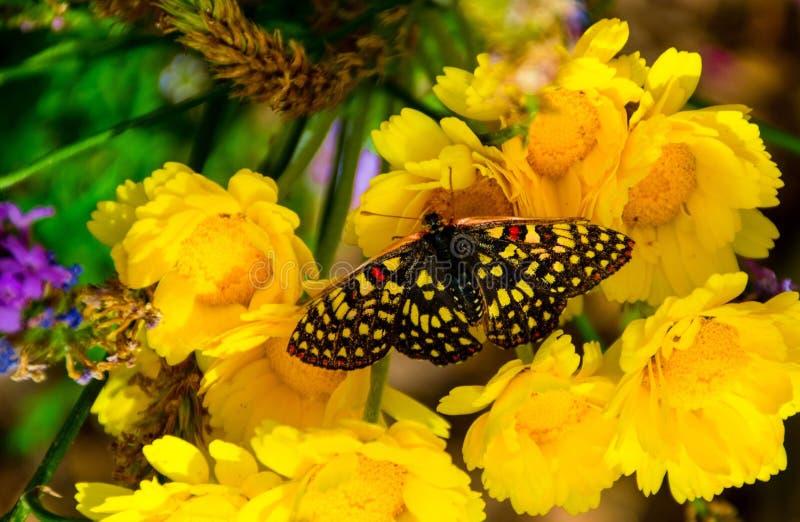 Fjäril, härlig guling och svart med stricking av röda brytningar på dess vingar arkivbild