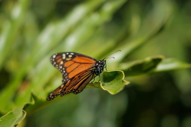 Fjäril i naturcloseup, monarkfjäril arkivbild