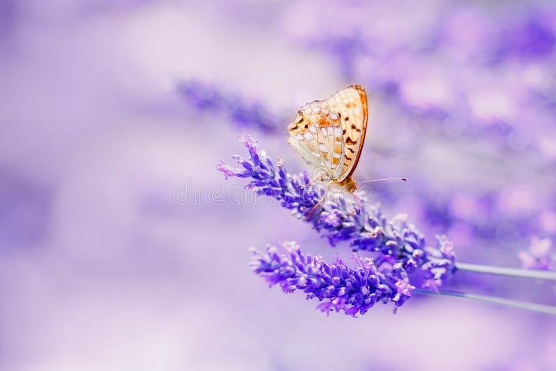 Fjäril i skinande solljus för lavendel på purpurfärgade signaler för natur, makro Sagolik magisk konstnärlig bild av drömmen, kop arkivfoto