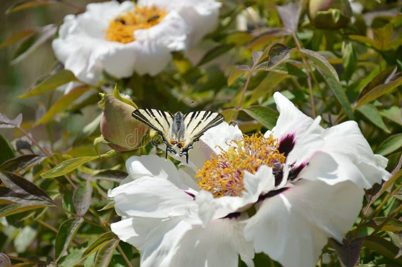 Fjäril i solig dag royaltyfria foton