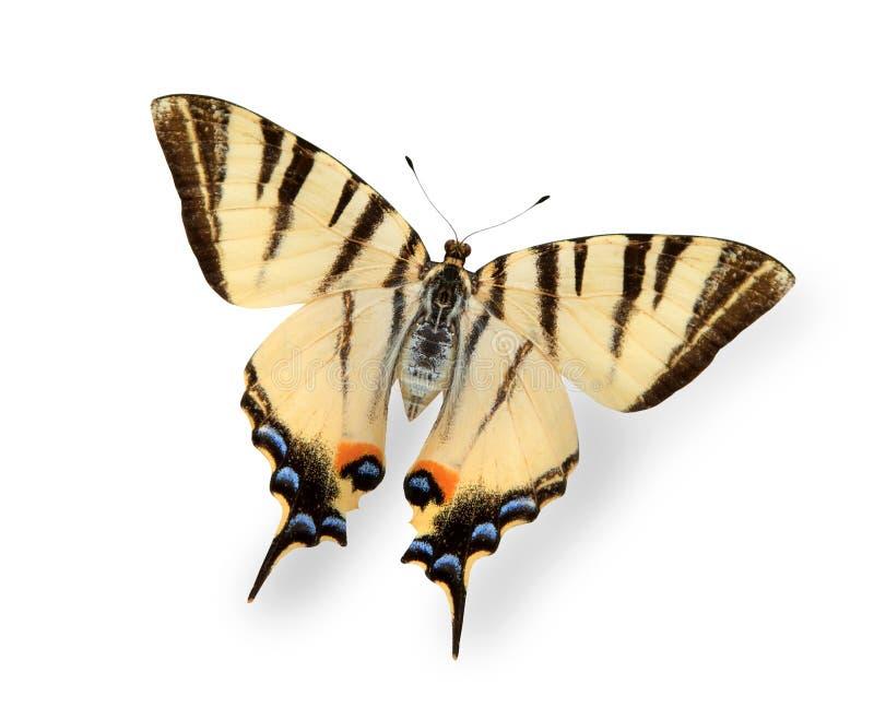 fjäril isolerad vit yellow arkivfoton