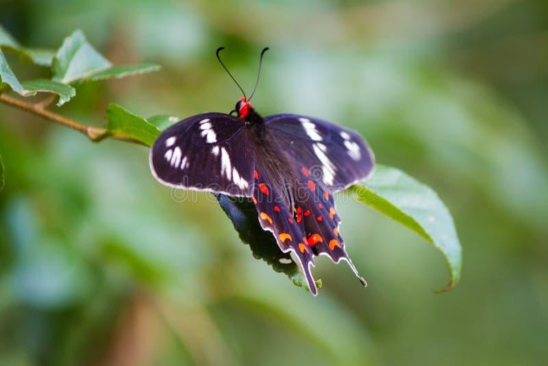 Fjäril karmosinröd ros - Pachliopta tyranniserar i kandalamaen Sri Lanka arkivfoto