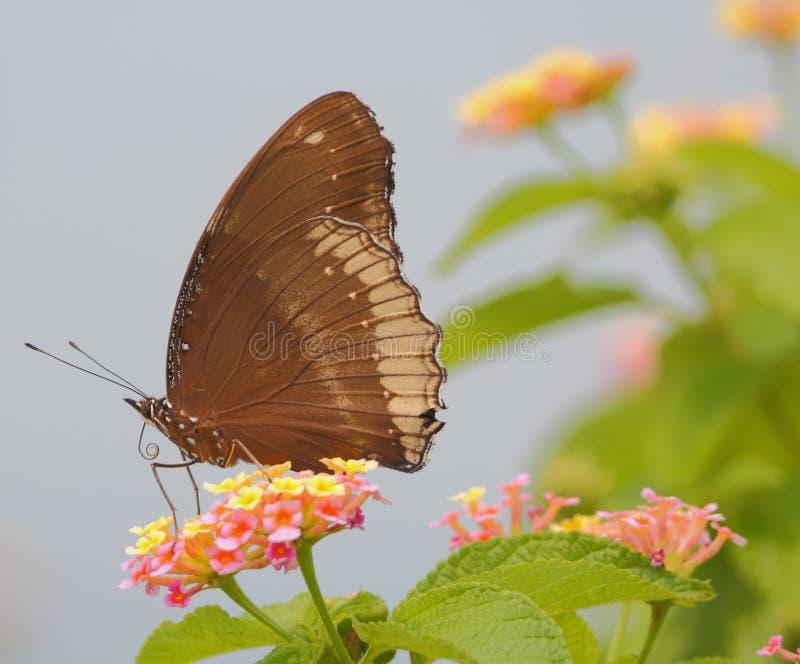 Fjäril lös blomma fotografering för bildbyråer