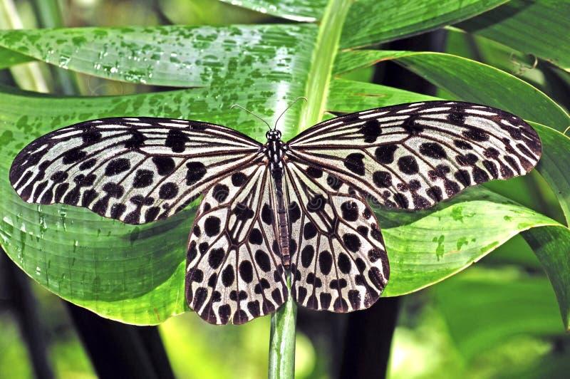 fjäril malaysia penang royaltyfria foton
