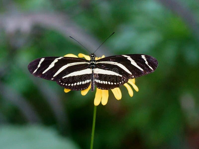 Fjäril med öppna vingar (den Heliconius charithoniaen) royaltyfri foto