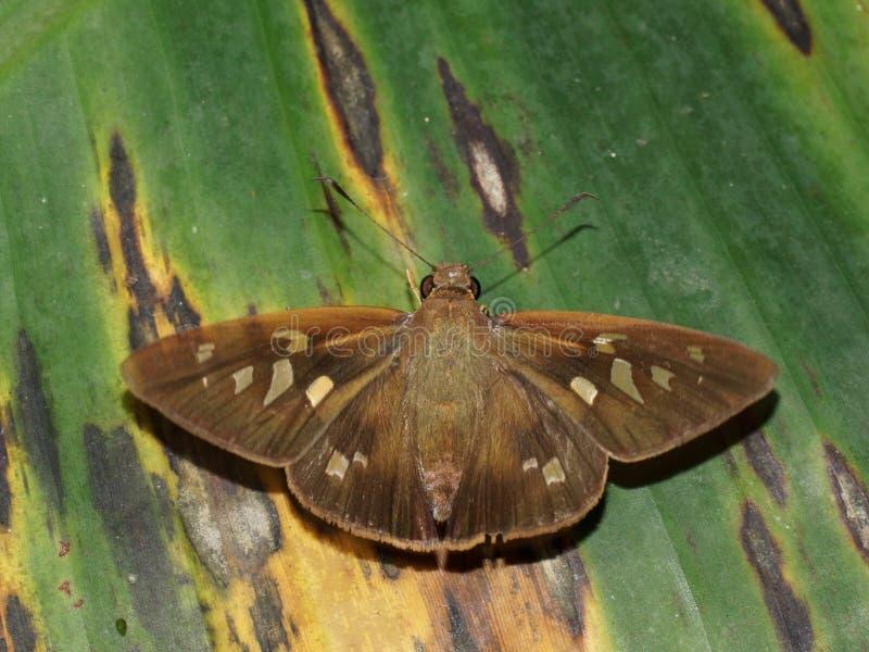 Fjäril med öppna vingar (Saliana longirostris) royaltyfria bilder