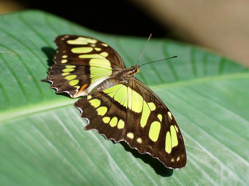 Fjäril med öppna vingar (Siproeta stelenes) arkivbild