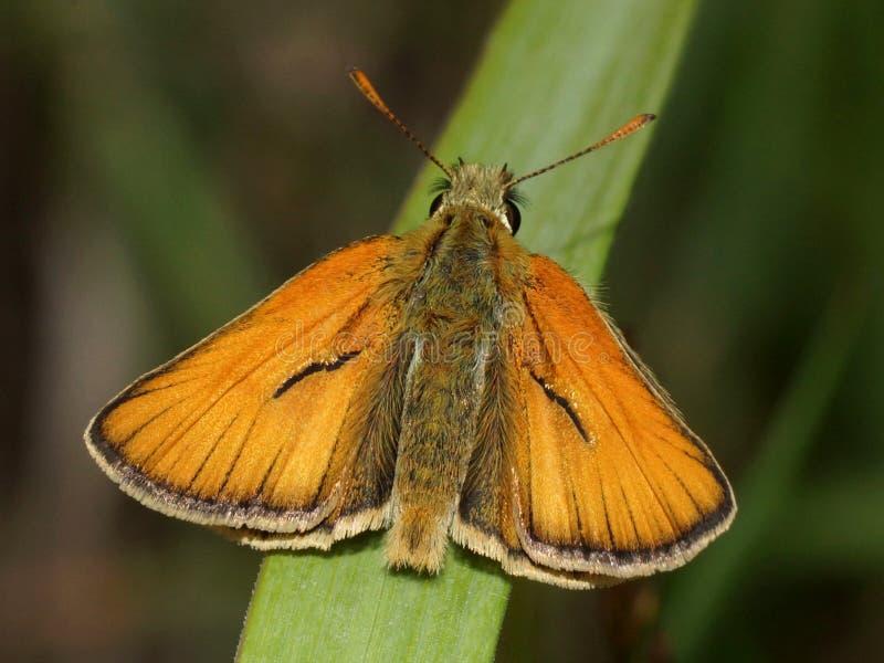 Fjäril med öppna vingar Stor skeppare, Ochlodes sylvanus fotografering för bildbyråer