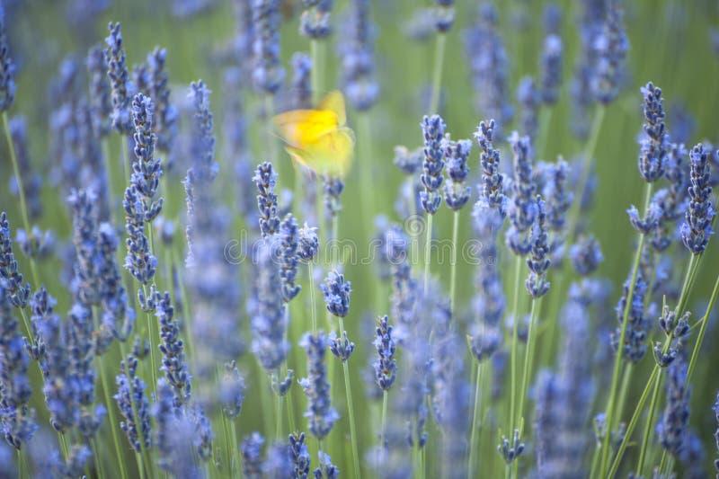 Fjäril, medan att vifta med dess vingar på lavendel blommar royaltyfri fotografi