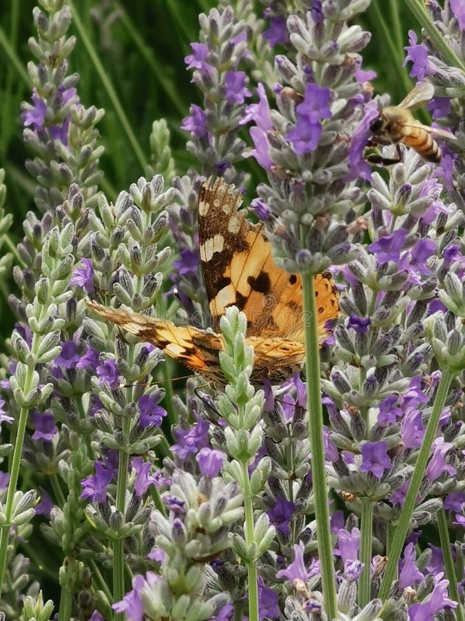 Fjäril och bi som matar från lavendel fotografering för bildbyråer