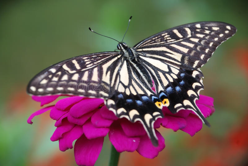 Fjäril och blomma royaltyfria foton