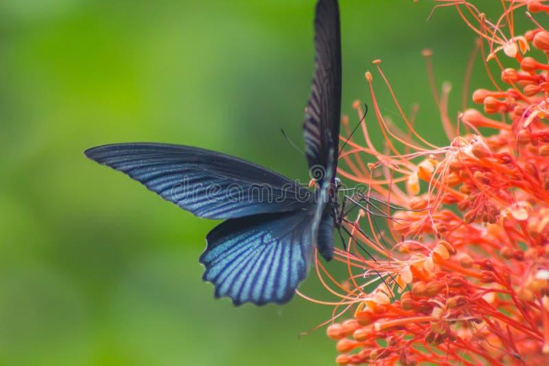 Fjäril och blomma fotografering för bildbyråer