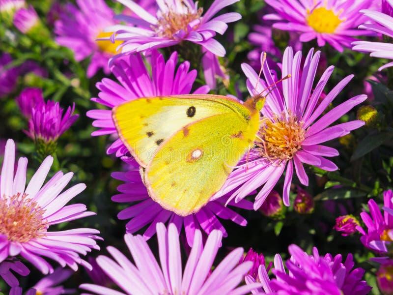 Fjäril och blommor 4 arkivbilder