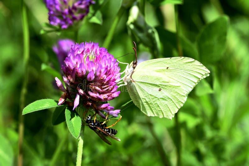 Fjäril och geting på växt av släktet Trifolium royaltyfri bild