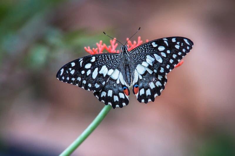 Fjäril på blomma royaltyfri bild
