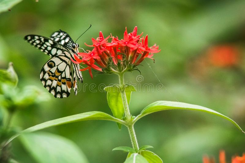 Fjäril på blomma royaltyfria bilder