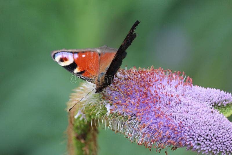 Fjäril på blomma arkivbilder
