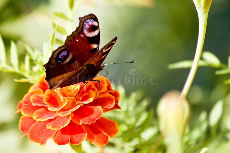 Fjäril på blommamakroen fotografering för bildbyråer