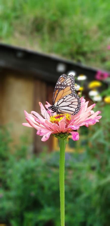 Fjäril på blomman royaltyfri bild