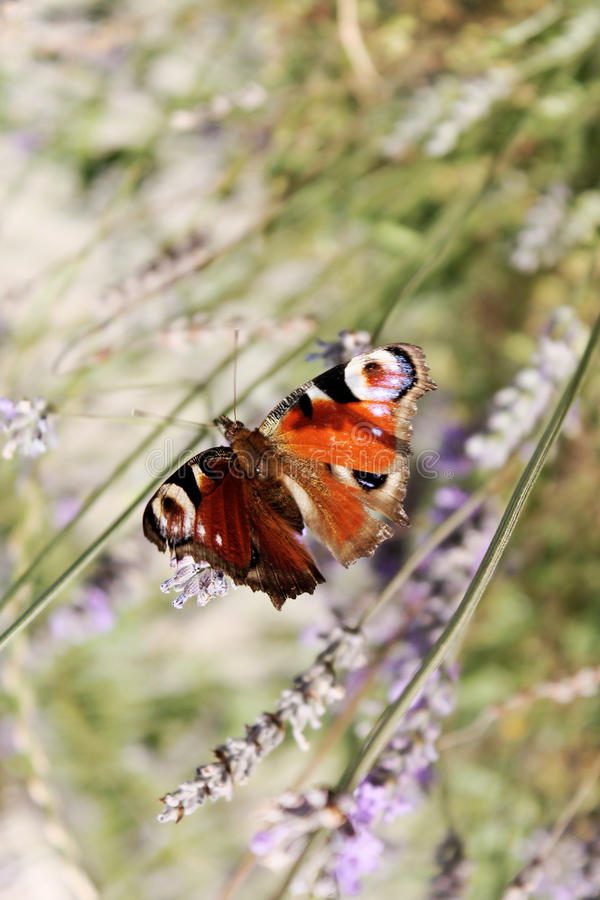 Fjäril på blomman arkivbilder