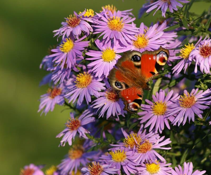 Fjäril på blommor fotografering för bildbyråer