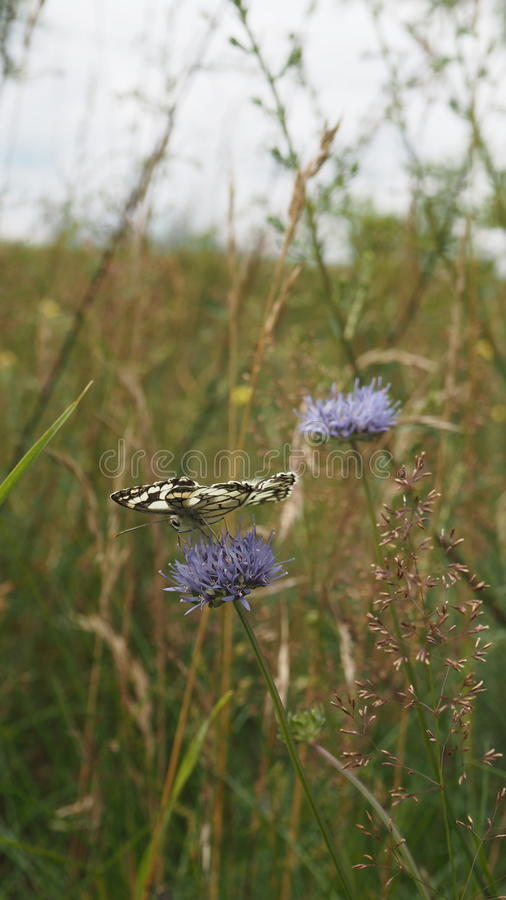 Fjäril på den blåa blomman royaltyfri fotografi