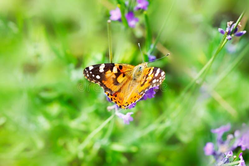 Fjäril på den lösa lavendelblomman arkivfoto