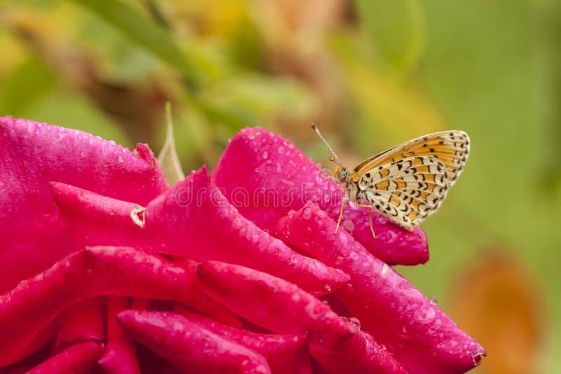 Fjäril på den röda rosen, i natur arkivfoto