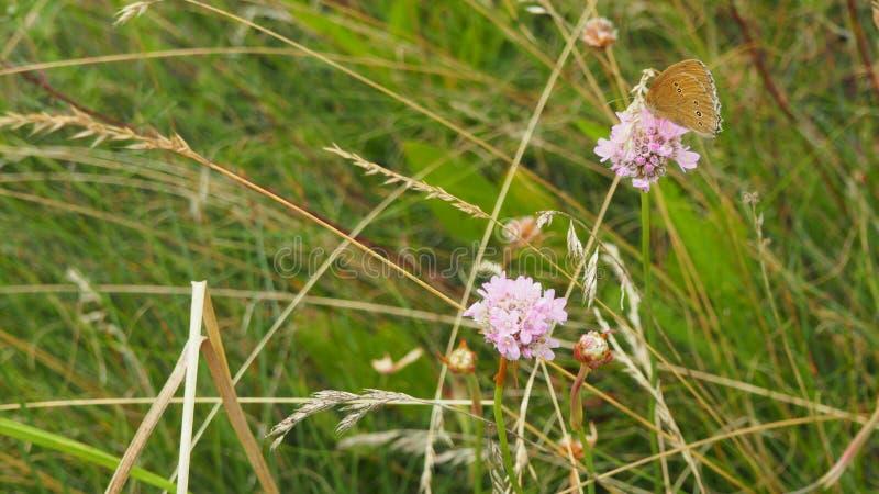 Fjäril på den rosa blomman royaltyfri foto