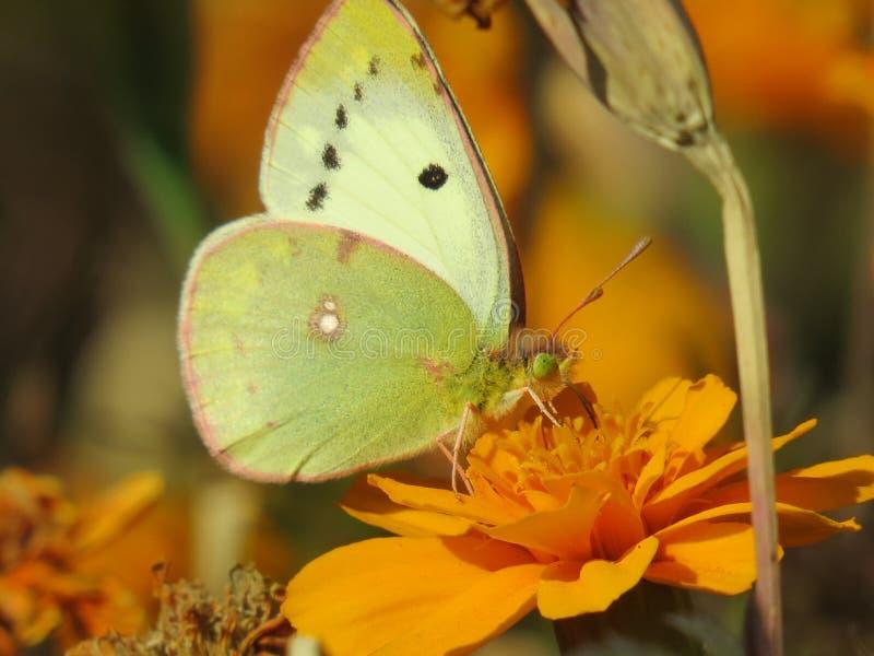 Fjäril på en blomma arkivbilder