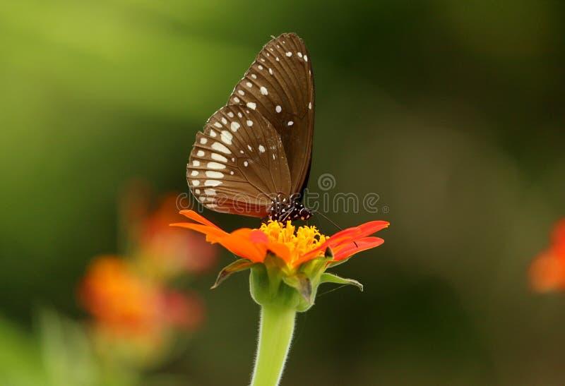 Fjäril på en röd blomma fotografering för bildbyråer