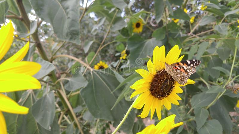 Fjäril på en solros royaltyfria foton