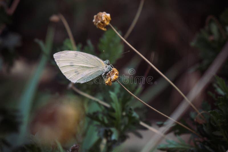 Fjäril på en torr blomma fotografering för bildbyråer