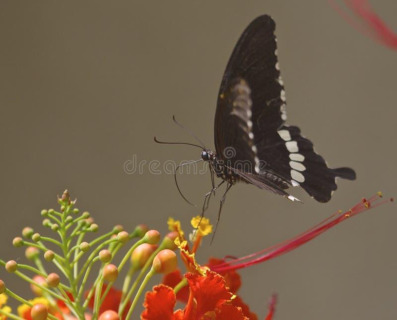 Fjäril på gulmohar arkivfoto