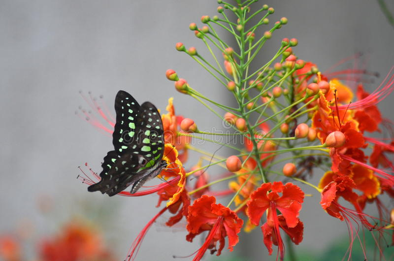 Fjäril på gulmohar royaltyfria foton