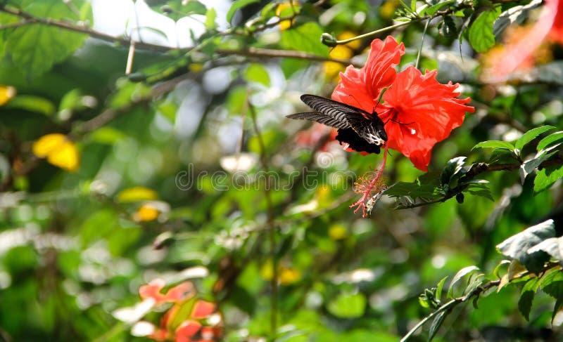 Fjäril på hibiskusblomman royaltyfria foton