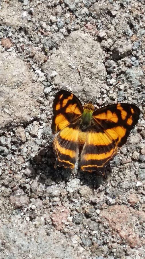 Fjäril på jordningen arkivfoton